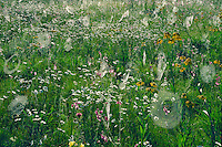 Orange sneezeweed and oxeye daisy<br />