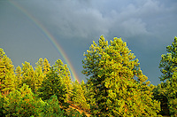 Rainbow over ponderosa pine forest after summer thunderstorm, Coconino National Forest, Flagstaff, Arizona, AGPix_0378.