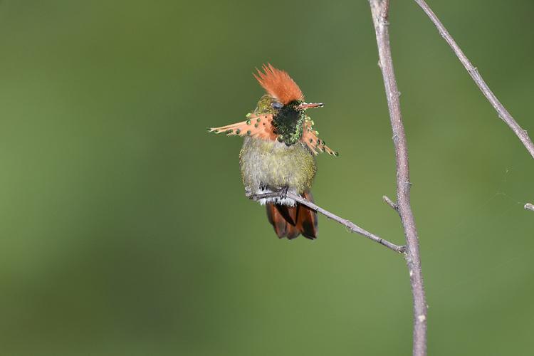 Tufted Coquette - Lophornis ornatus