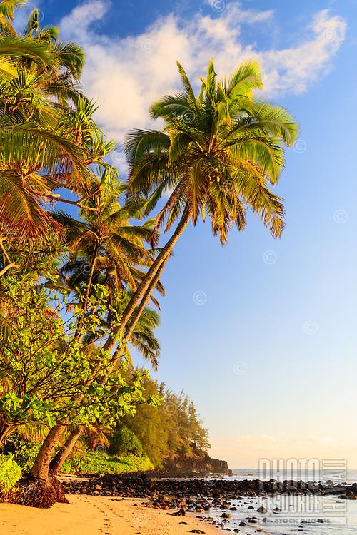 A coconut tree and surrounding vegetation lit by the morning light at Waikoko Beach, Hanalei, Kaua'i.
