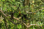 Mantled Howler Monkey (Alouatta palliata) mother and young climbing through trees, Osa Peninsula, Costa Rica