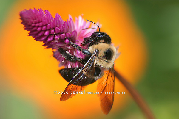 Carpenter Bee Nactaring On A Pink Flower, Xylocopa micans