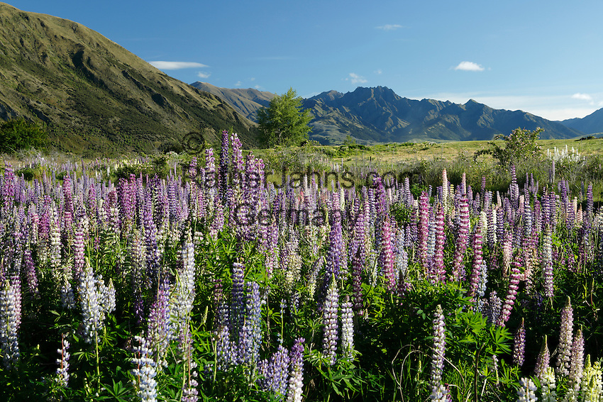 New Zealand, South Island, Otago region, Wanaka: Field of Lupins (Lupinus) | Neuseeland, Suedinsel, Region Otago, Wanaka: Lupinen (Lupinus)