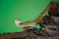 489040011 a captive broadleys bush viper atheris broadleyi sits coiled on a tree limb species is native to africa