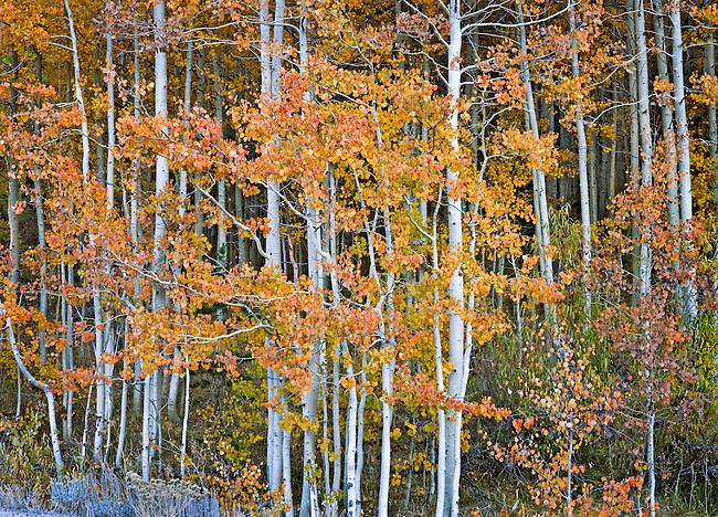 Autumn Aspen Portrait, Hope Valley, California