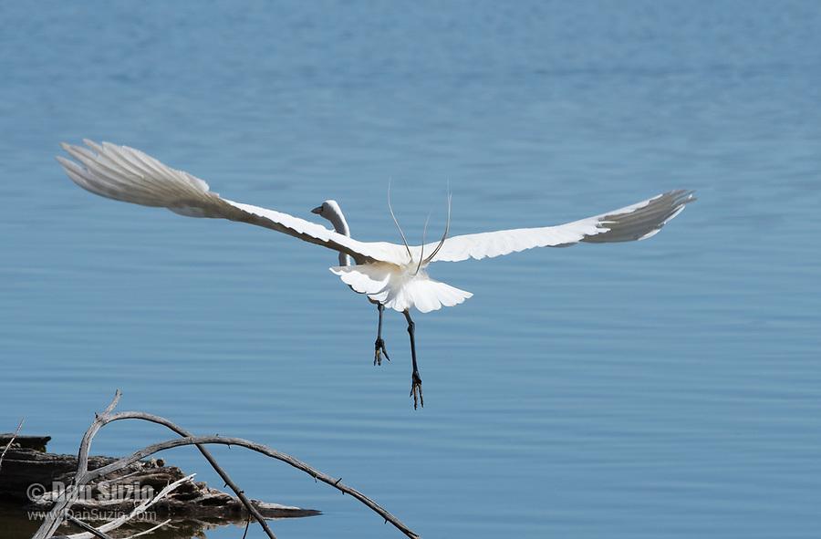 Great Egret, Ardea alba, at Lake Ewauna, Klamath Falls, Oregon