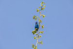 Male indigo bunting perched on top of an aspen tree.