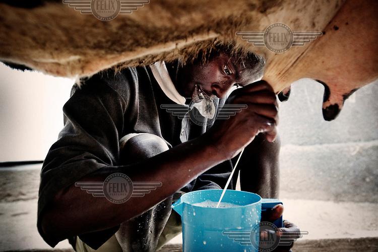 Farmer John Babi Mana milking one of his cows.