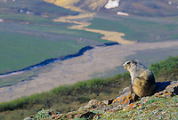Hoary Marmot on mountain ridge, Denali National Park, Alaska.