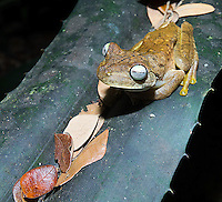 Rosenberg's tree frog, found during a night walk.