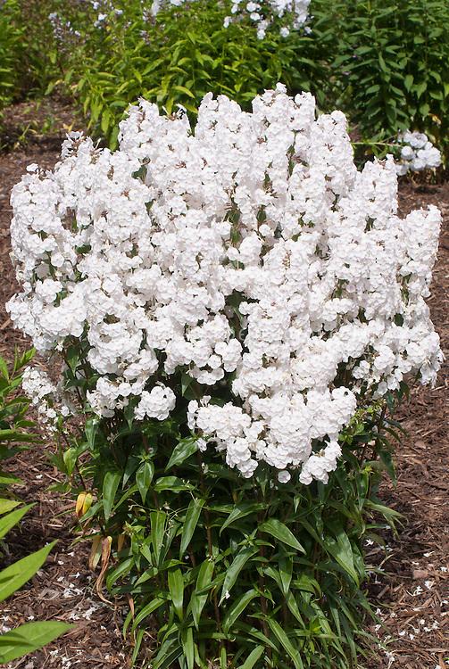 Phlox maculata 'Blush White' in bloom showingplant habit