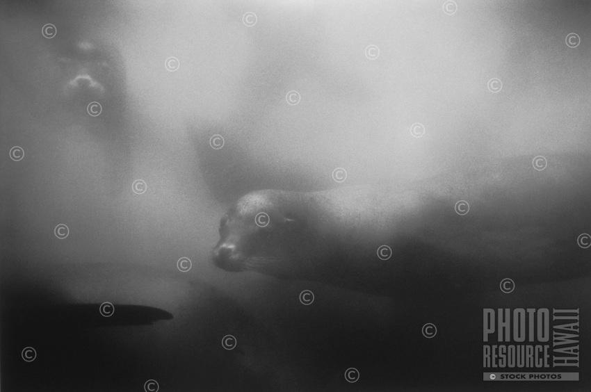 California Sea Lions at Monterey Bay Breakwater
