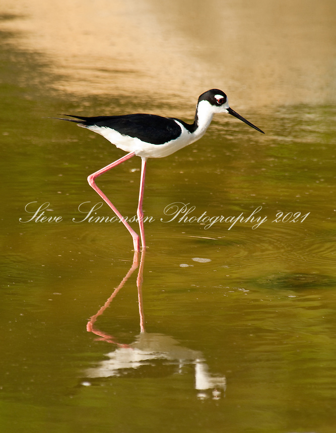 Stilt bird in pond at Josiah's Bay<br /> Tortola<br /> British Virgin Islands