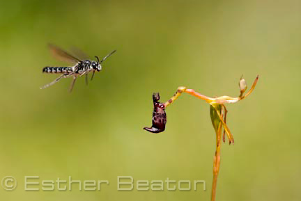 Male Thynnid wasp (Zapilothynnus nigripes) flying in to mate with Warty Hammer Orchid (Drakaea livida) near Yallingup, Margaret River area of Western Australia.