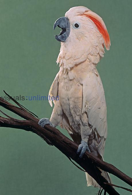 Moluccan Cockatoo (Cacatua moluccensis), Molucca Islands...