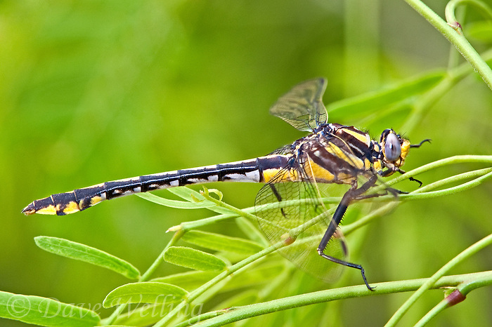 334070017 a wild female plains clubtail dragonfly gomphus externus perches on a mesquite branch at southeast regional park austin texas united states