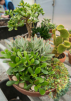 NWA Democrat-Gazette/BEN GOFF @NWABENGOFF Potted arrangements of succulent plants sit on display Saturday, Jan. 12, 2019, during a 'Succulent Make and Take' class at Botanical Garden of the Ozarks in Fayetteville. Participants learned how to care for the water-conserving plants native to arid climates and made their own arrangement to take home.