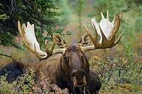 Alaskan bull moose (Alces alces)