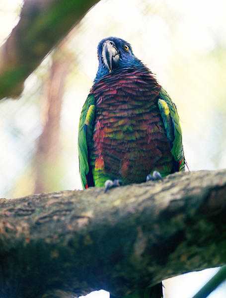 A St. Lucia Parrot. As its name suggests, the St. Lucia Parrot, or Jacquot, is found only on the island of St. Lucia in the West Indies where it lives in the central mountain rainforest. St. Lucia, W.I.