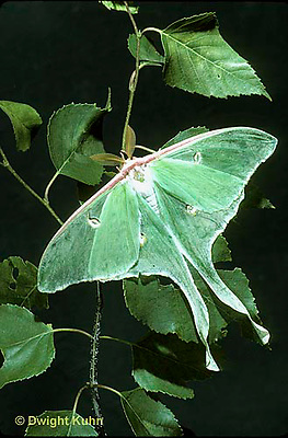 LE08-014b  Luna Moth - male adult, long antennae - Actias luna