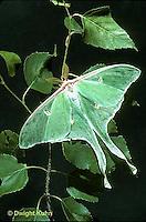 LE08-014b  Luna Moth - male adult, long antennae - Actias luna