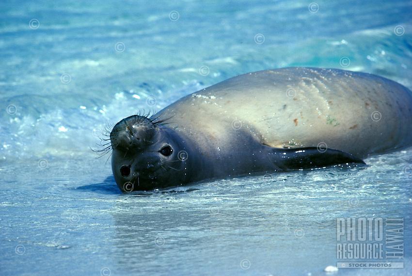 The endangered Hawaiian monk seal, latin name: monachus schauinslandi, off the coast of Kure atoll, in the Northwest Hawaiian island chain