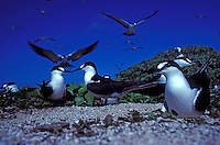 Sooty Terns nesting and flying at Tern I. French Frigate Shoals.