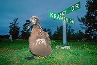bird, young Laysan albatross, Phoebastria immutabilis, street signs in old military base, Midway Atoll, Papahanaumokuakea Marine National Monumen, Northwestern Hawaiian Islands, Hawaii, Pacific Ocean