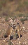 Kit Fox (Vulpes macrotis), Southwestern North America.