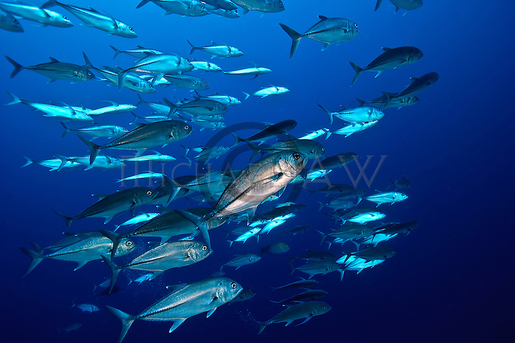 East Indonesia, Raja Ampat, The bigeye trevally, Caranx sexfasciatus (also known as the bigeye jack, great trevally, six-banded trevally and dusky jack are found on  coral outcrops.