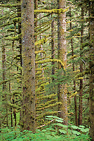 Forest of Sitka Spruce trees grow in temperate rainforest at Fort Abercrombie State Park, Kodiak Island, Alaska, AGPix_0677.