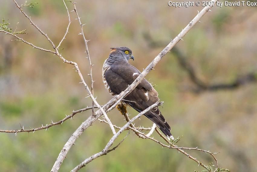 Cuckoo Hawk, Hluhluwe-Umfolozi NP, SA
