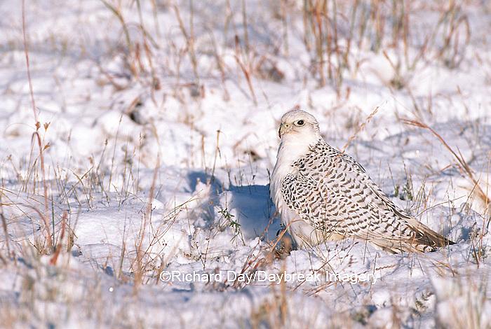 00817-002.20 Gyrfalcon (Falco rusticolus) white phase on ground