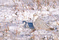 00817-002.20 Gyrfalcon (Falco rusticolus) white phase on ground