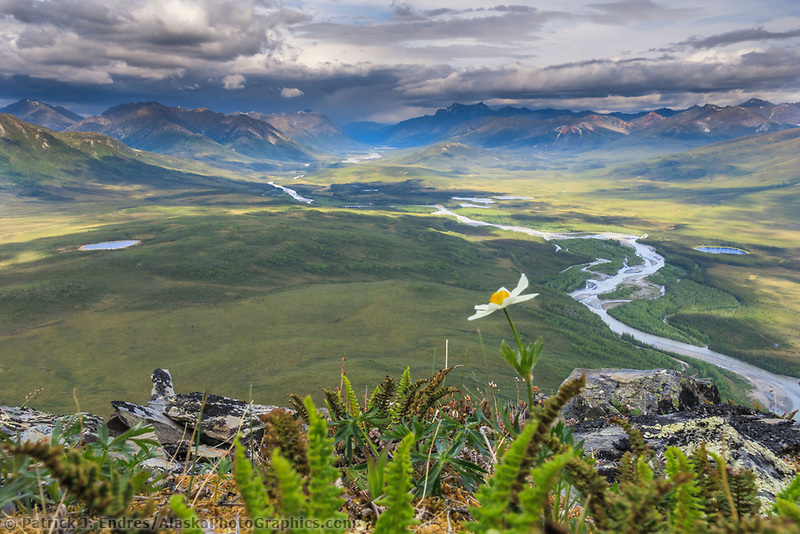 Windflower blossom on the tundra overlooking the North Fork of the Koyukuk River in the Gates of the Arctic National Park, Brooks Range, Alaska.