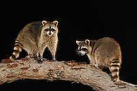 Northern Raccoon (Procyon lotor), adults at night on log, Refugio, Coastel Bend, Texas, USA