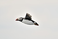 Atlantic Puffin in flight against white sky