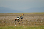 Grey Crowned Crane at Lake Manyara, Africa