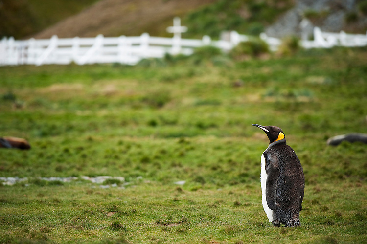 King Penguin (Aptenodytes patagonicus) , South Georgia