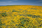 Carpet of yellow wildflowers in spring at Frazer Point, Santa Cruz Island, Channel Islands, California