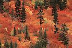 Vine Maples in autumn, Washington.