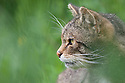 Scottish wild cat {Felis sylvestris grampia} surronded by grass, captive, UK