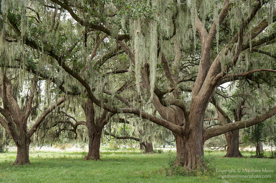 Brazoria County, Damon, Texas; live oak trees, with spanish moss hanging from their branches, stand in the pasture on an early, overcast morning