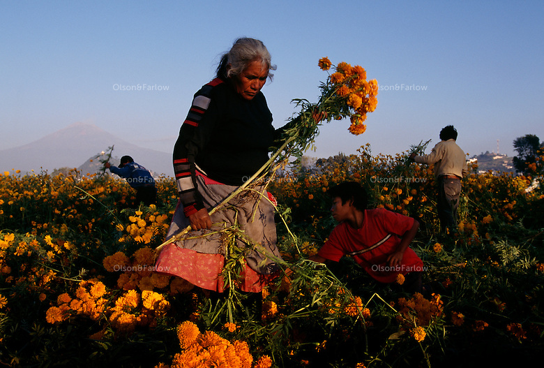 Families work at sunrise to pick flowers for Day of the Dead celebration under smoking volcano, Popocatepetl in Mexico. The pickers harvest zempazuchitl and other flowers for 8 pesos for a Maleta.<br /> The woman worker has 25 grandchildren and sells snow cones and fried snacks in Atlixco in other seasons. <br /> Atlixco is the flower capital of Mexico; roses and gladiolas are exported throughout the world from this Puebla State. Fields are full of yellow and red flowers picked to decorate alters and graves for the celebration.