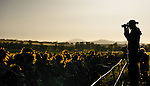 Learning photography in the field. Sunflower fields at sunrise in Caroona, near Quirindi, Liverpool Plains, New England, NSW, Australia