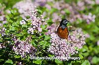 01618-010.09 Orchard Oriole (Icterus spurius) male in Lilac bush,  Marion Co. IL
