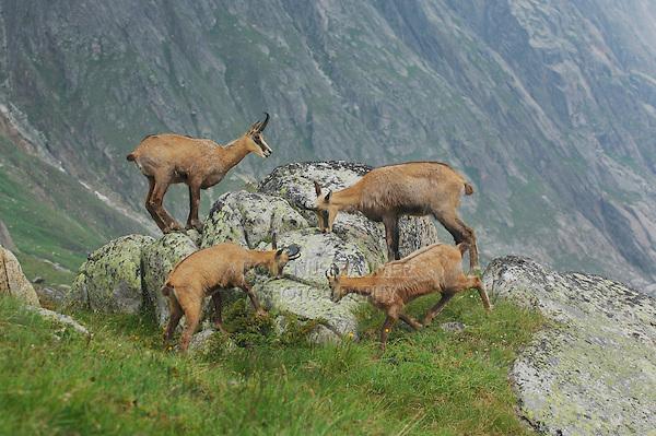 Chamois (Rupicapra rupicapra), group licking minerals from rock, Grimsel, Bern, Switzerland