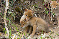Young (wild) COYOTE pups (Canis latrans) playing near their den in a streamside bank.  Western U.S., June.