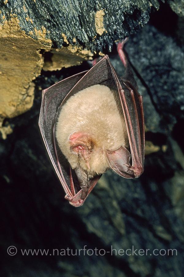 Große Hufeisennase, Fledermaus, Rhinolophus ferrumequinum, Greater horseshoe bat