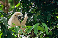 Male white-handed gibbon or common gibbon (Hylobates lar), S.E. Asia.